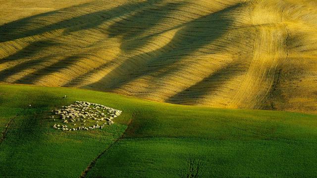 TuscanSheep.png