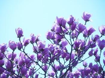 Purple Magnolia.jpg