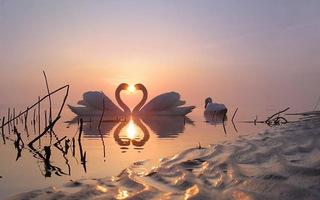 swanheart01 .jpg