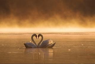 swanheart02.jpg